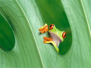 Frog peeking through the eye of a leaf