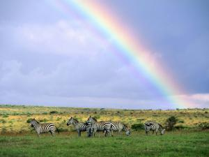 Zebras eating under a rainbow
