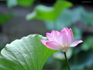A delicate lotus flower