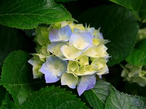 Hydrangea with yellow and purple flower