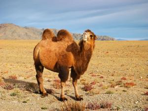 Camel in the Gobi Desert (Mongolia)