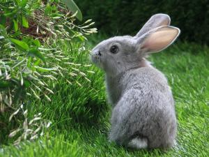 Gray bunny in the grass
