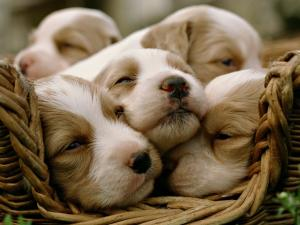Puppies resting