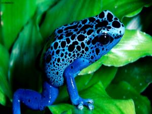 Blue frog with black spots