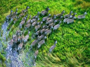 Stampede of zebras