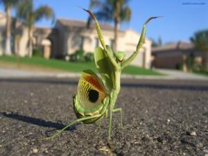 Mantis greeting