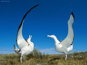 Pair of wandering albatross