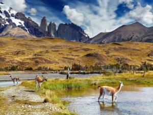 Guanacos in Torres del Paine National Park (Chile)