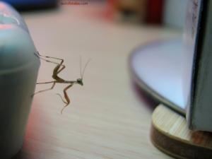 Small mantis