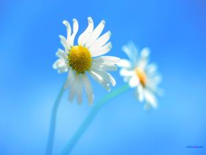 Daisies and a blue sky