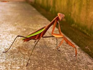 Coppery mantis