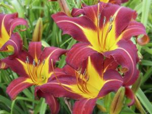 Lilium yellow and red