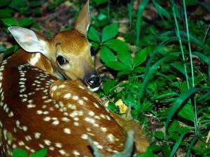 Fawn lying over the grass