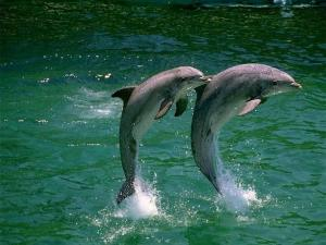 Dolphins jumping in duet
