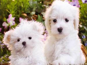 Two beautiful and tender white puppies