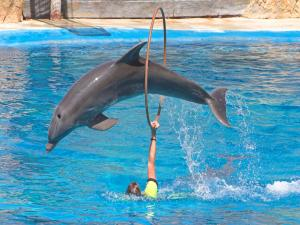 Dolphin jumping through hoops