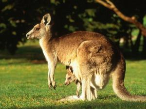 Kangaroo with her calf