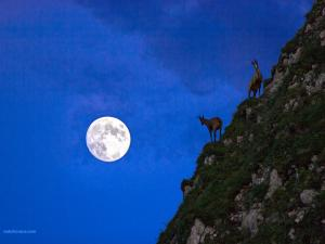 Chamois at the moonlight