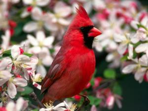 Northern Cardinal (redbird or common cardinal)