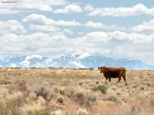 A cow alone in the plain