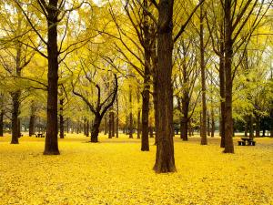 Grove of yellow leaves