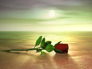 A rose on the beach