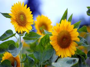 Flowers of sunflower