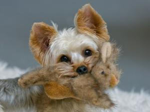 Yorkshire Terrier with a teddy in his mouth