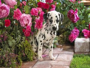 Dalmatian puppy in the garden