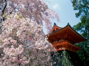 Cherry blossoms near an oriental temple