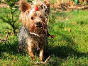 Yorkshire Terrier with her bangs collected