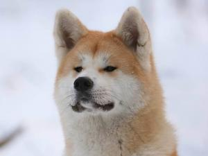 Akita (breed of dog)