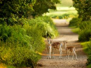 Fawns crossing a dirt road