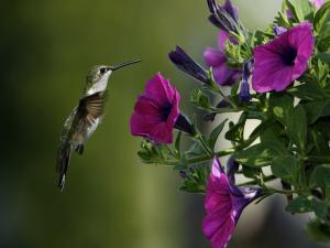 Hummingbird sucking some petunias