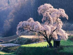 A beautiful cherry tree in bloom