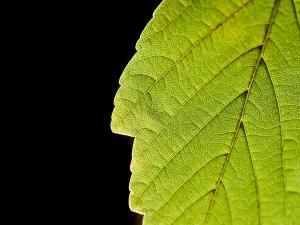The capillaries of a leaf