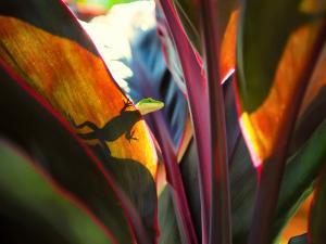 Silhouette of a lizard