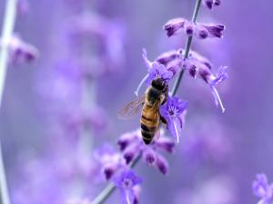 Bee pollinating violet flowers