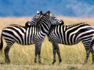 Two zebras that love each other