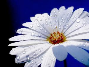 A daisy with white petals