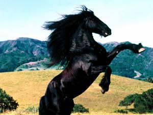 Jet black thoroughbred horse