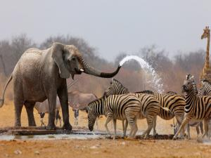 African elephant showering to zebras