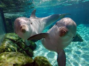 Two friendly dolphins underwater