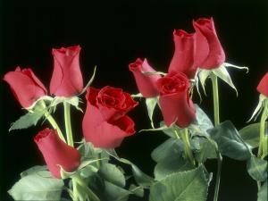 Red rosebuds