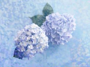 Two beautiful blue hydrangeas