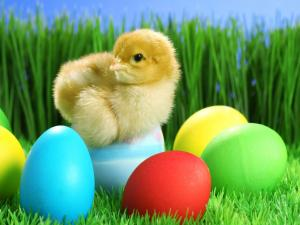 Chick over colored eggs