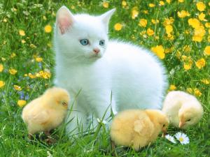 A white cat with three chicks