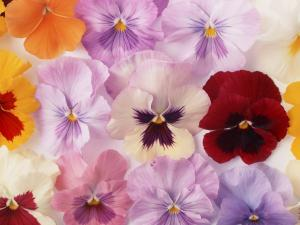Pansies of various colors