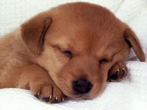 A puppy sleepyhead