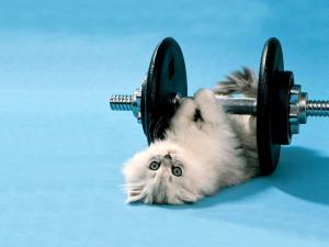 White kitten doing weights